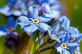 light blue flowers forget me not light blue flowers in a garden stock photo picture