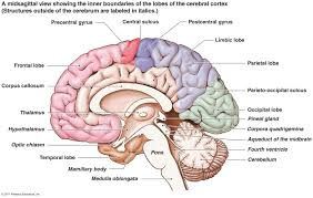 Which Part Of The Brain Consists Of Two Hemispheres Brain And The Cranial Nerves