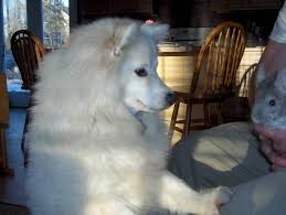 american eskimo dog what do they eat american eskimo dog dog breed information puppies u0026 pictures