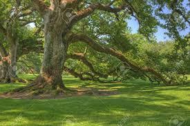 oak alley plantation images u0026 stock pictures royalty free oak