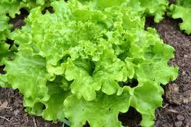 free images field food harvest produce soil lettuce plants