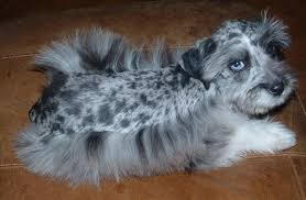 australian shepherd eyebrows miniature schnauzer mix 14 desktop wallpaper dogbreedswallpapers com