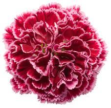 dianthus flower fruit punch cherry vanilla pinks dianthus hybrid proven