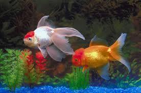 freshwater aquarium fish photos freshwater tropical fish photos