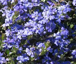 purple flowering australian native plants dampiera linearis wikipedia