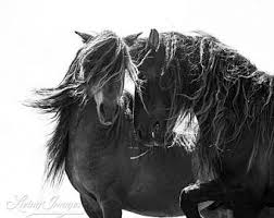 Black Mustang Horse Wild Horse And Horse Fine Art Images By Carol J By Wildhoofbeats