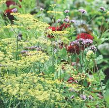 foeniculum vulgare atropurpureum ornamental fennel pflanzen