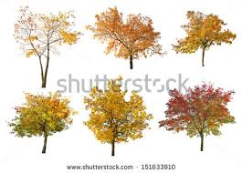 fall trees stock images royalty free images vectors