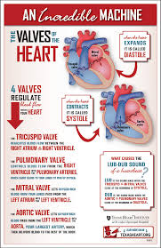 fun infographic about the heart valves part of the incredible