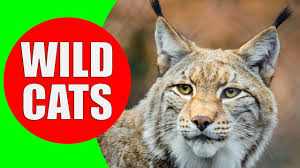 wild cats felidae and panterinae wild cat sounds for children