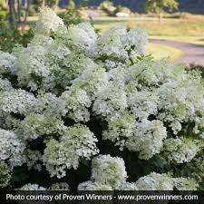 hydrangea white bobo hydrangea buy online at nature nursery