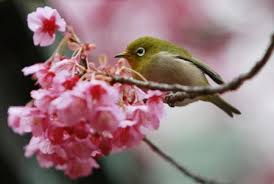 bird sings songs on blooming cherry blossom tree 4