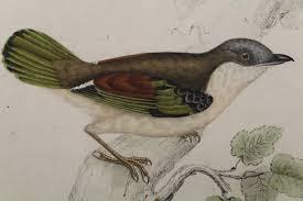 biographical sketch of elizabeth gould u2013 satin bowerbird