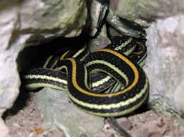 western ribbon file western ribbon snake thamnophis proximus flickr