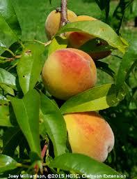 Best Fruit Trees For North Carolina - hgic 1354 peaches u0026 nectarines extension clemson university