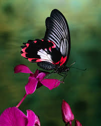 papilio rumanzovia butterfly on flower out of pocket emotions