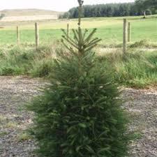 pot grown chistmas tree fraser fir nordman fir and spruce