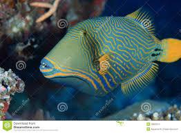 orange striped triggerfish stock images image 28680374