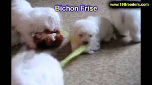 bichon frise breeders near me bichon frise puppies for sale in billings montana mt