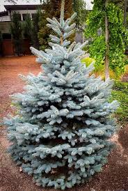 buy baby blue spruce for sale the tree center