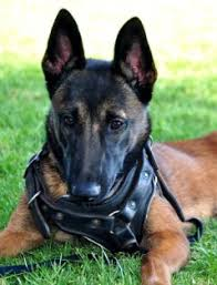 9 month old belgian malinois trained dogs