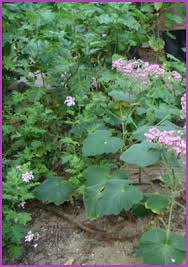 Fragrant Container Plants - super scented geraniums pelargoniums for fabulously fragrant