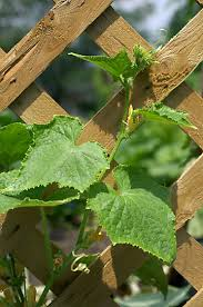 Growing Pumpkins On A Trellis Vertical Growing With Cages Trellises And Tepees Gardening
