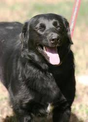 afghan hound and labrador retriever dd 8 pooghan afghan hound u0026 poodle designer dogs ii