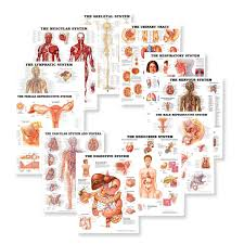 Body Anatomy Back Organs Of The Body From Back View Anatomy Chart Body