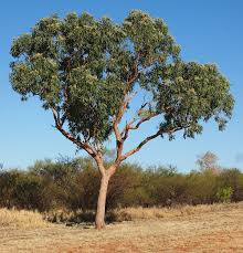 native australian desert plants corymbia terminalis wikipedia
