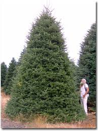 grand fir trees up to 20