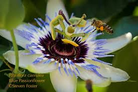 Rainforest Passion Flower - passionflower u2013 herb n u0027 food u2013 steven foster u0027s herbalblog
