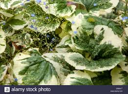 plant with decorative and ornamental foliage brunnera