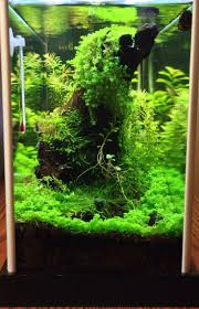 Java Moss Aquascape Before The Moss Extermination Took The Driftwood Put To Try To