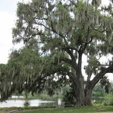 the quercus quisenberry oak winter garden florida winter