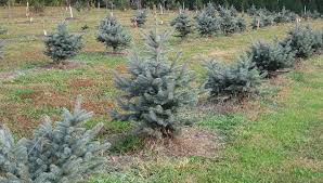 terra tree farm u0026 nursery christmas trees farm sykesville md