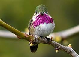calliope hummingbird life history all about birds cornell lab