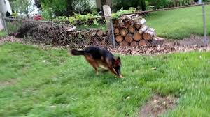 Dog In The Backyard by 1 Year Old German Shepherd Chase Running Around In The Backyard