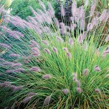 41 best grasses images on ornamental grasses plants