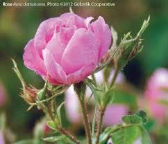 Paradise Of The Blind Pdf Herbalgram Turkish Rose A Review Of The History Ethnobotany