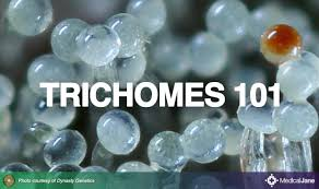 marijuana trichomes medical marijuana 101 trichomes