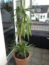 Yucca Wohnzimmer Yucca Geht Ein Pflanzenkrankheiten U0026 Schädlinge Green24 Hilfe