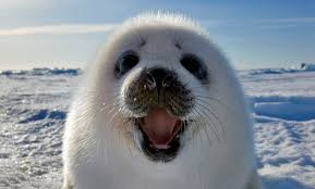 Baby Seal Meme - meet the incredible smiling seal how an intrepid photographer