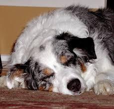 australian shepherd san diego hippiedog com australian shepherd