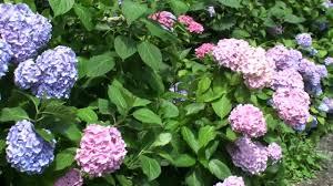 japanese flower garden in kanazawa city youtube