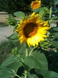 how to grow black oil sunflowers in your summer garden hubpages