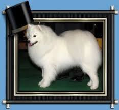american eskimo dog calendar paintings of american eskimo dogs american eskimo dog mailbox