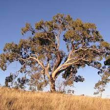 list of trees by common and other names