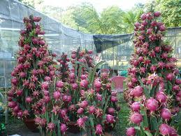 hylocereus undatus images useful tropical plants