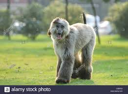 afghan hound dog images afghan hound dog walking on the lawn stock photo royalty free